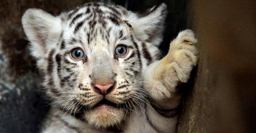 How cute are these animals  Why would we want them gone from our lives    White Siberian Tiger Eyes